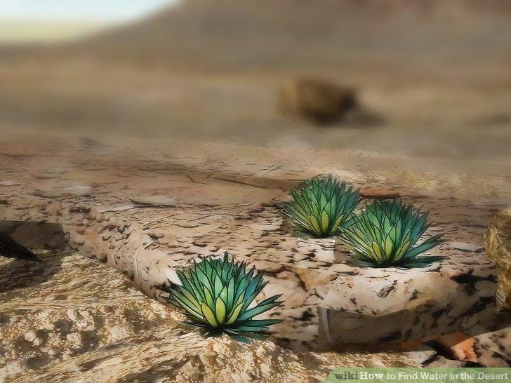 Wodę na pustyni wskazują często rośliny